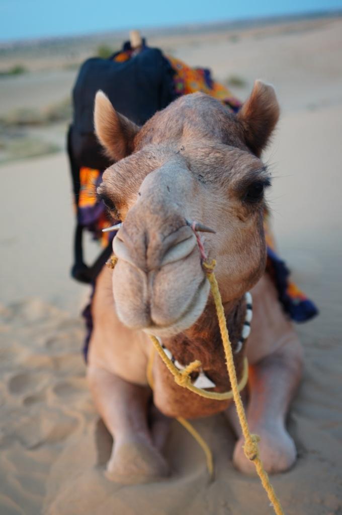 That Desert Camel